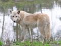 Hudson wolf