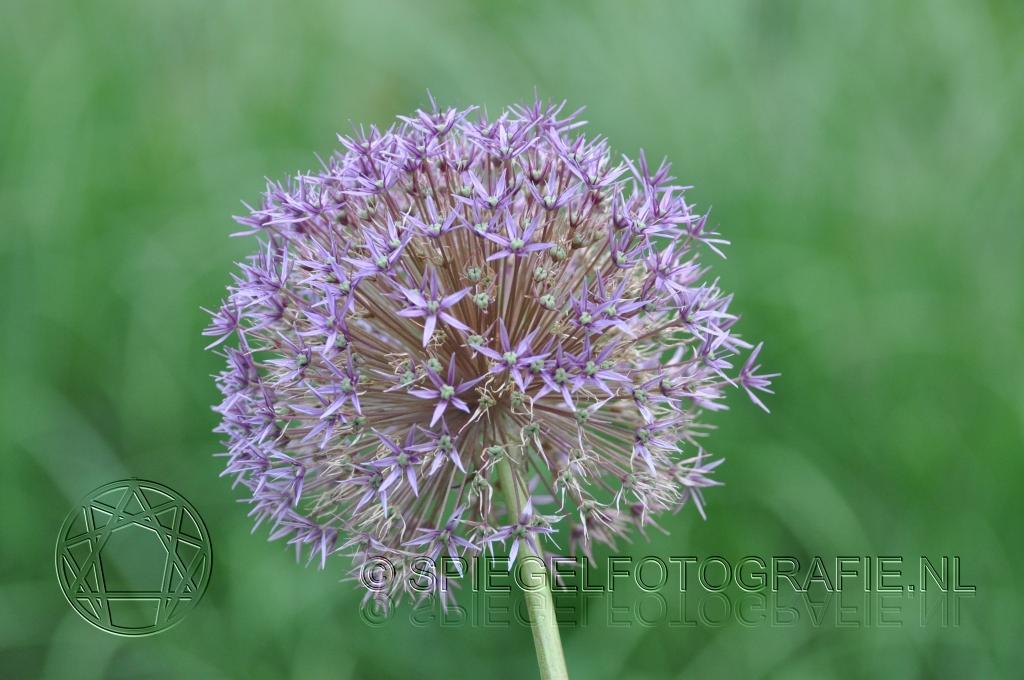 paarse bloemenbol