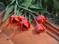 rode tulpen op dakpan
