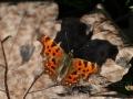 Vlinder met schaduw