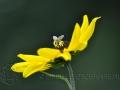 Wesp op bloem