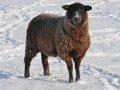 schaap in winterlandschap