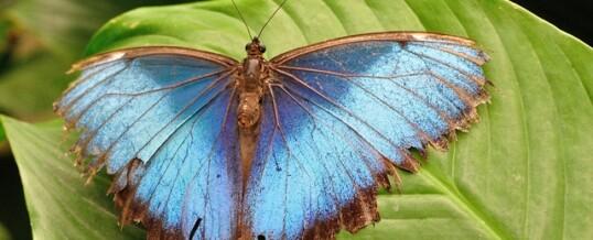 De paradijs vlinder.